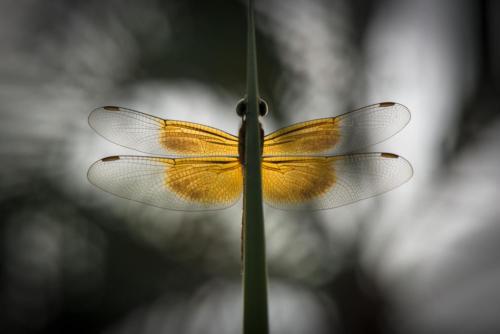 Dent'ailes